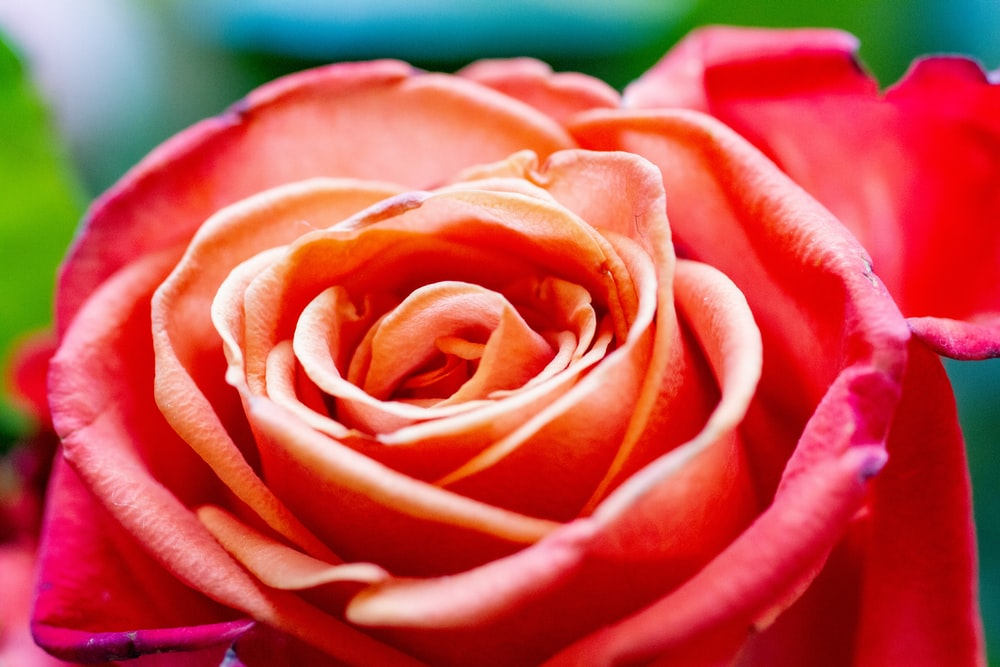 pink rose in macro photography