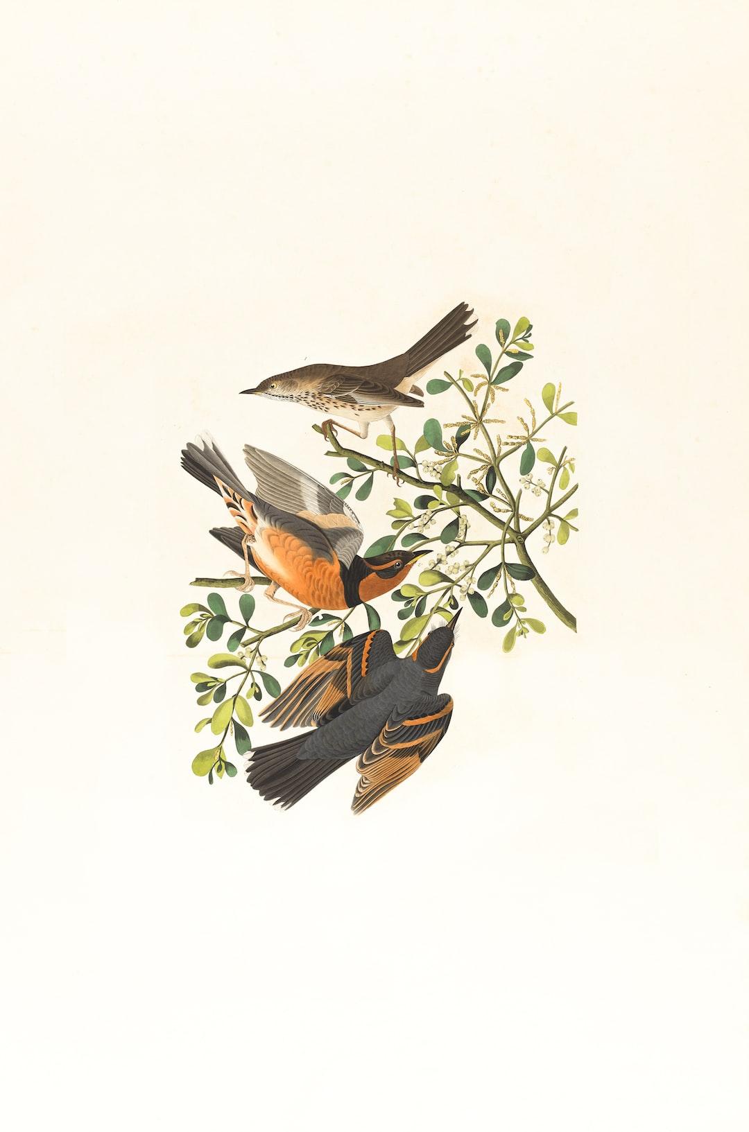 Mountain mocking bird,Varied thrush, male & female,Orpheus montanus. Artist: Audubon, John James, 1785-1851 https://ark.digitalcommonwealth.org/ark:/50959/9s16d744d Please visit Digital Commonwealth to view more images: https://www.digitalcommonwealth.org.