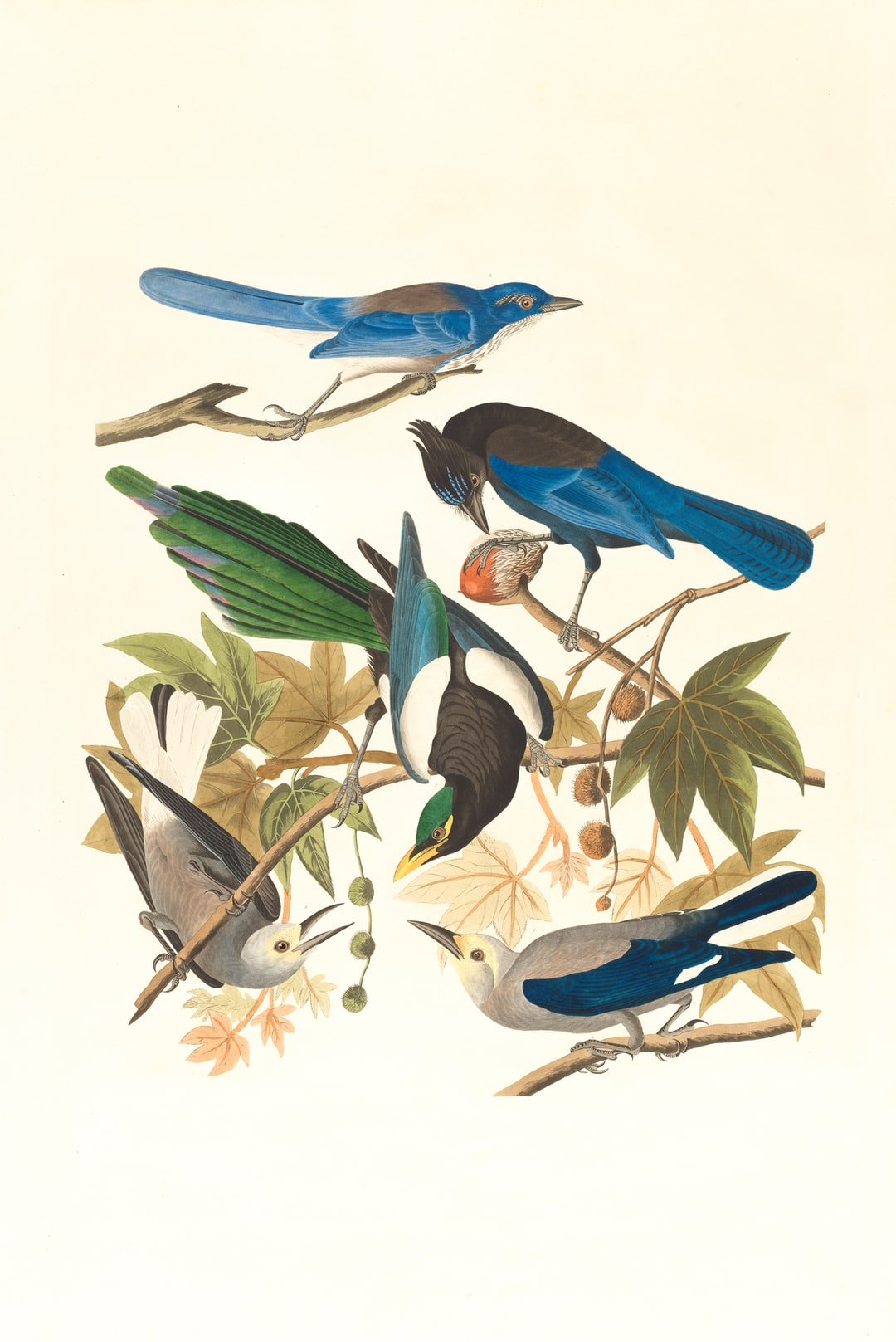 Yellow-billed magpie, Stellers jay, Ultramarine jay and Clark's crow. Artist: Audubon, John James, 1785-1851 https://ark.digitalcommonwealth.org/ark:/50959/9s16d723n  Please visit Digital Commonwealth to view more images: https://www.digitalcommonwealth.org.