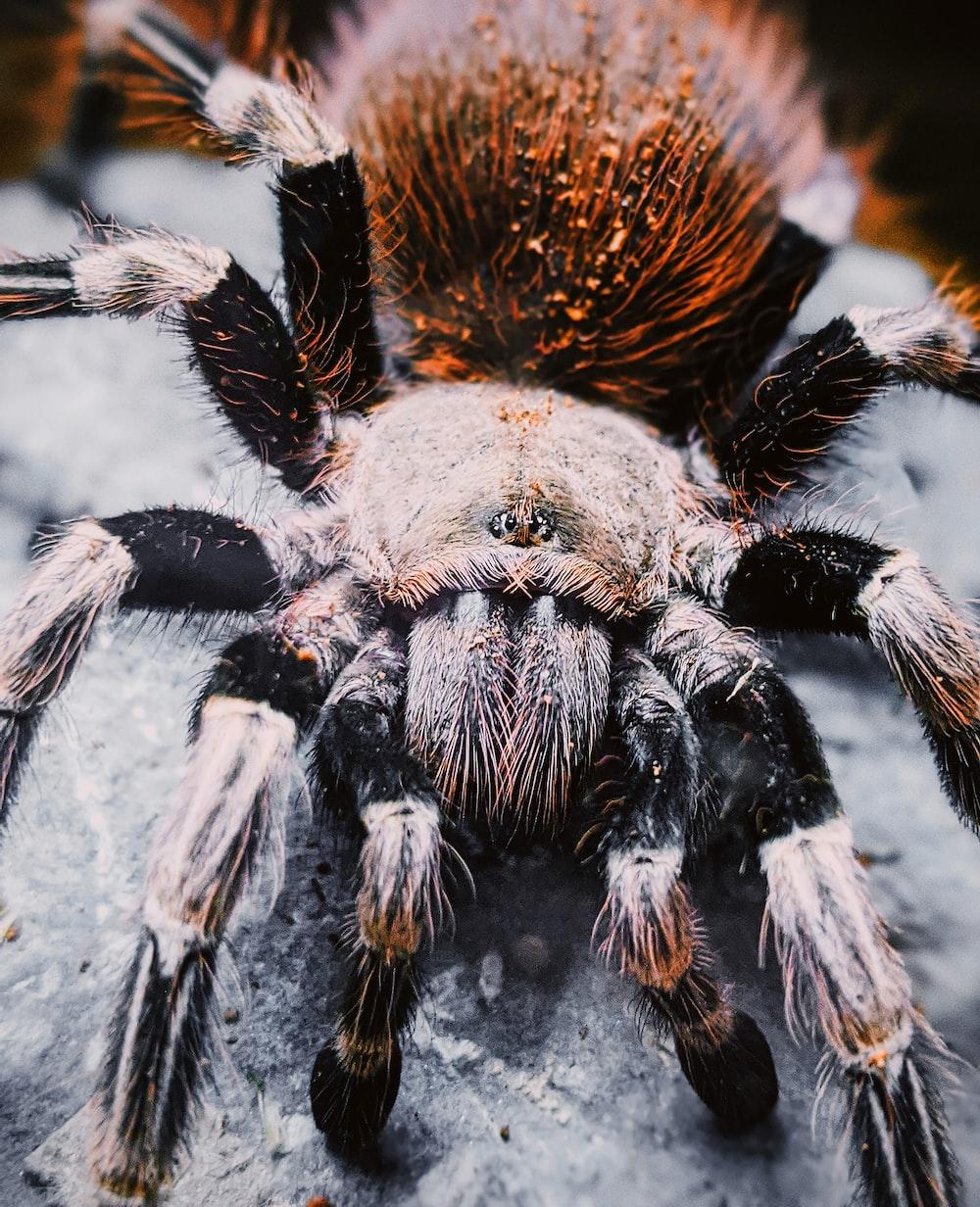 black and brown tarantula on gray surface