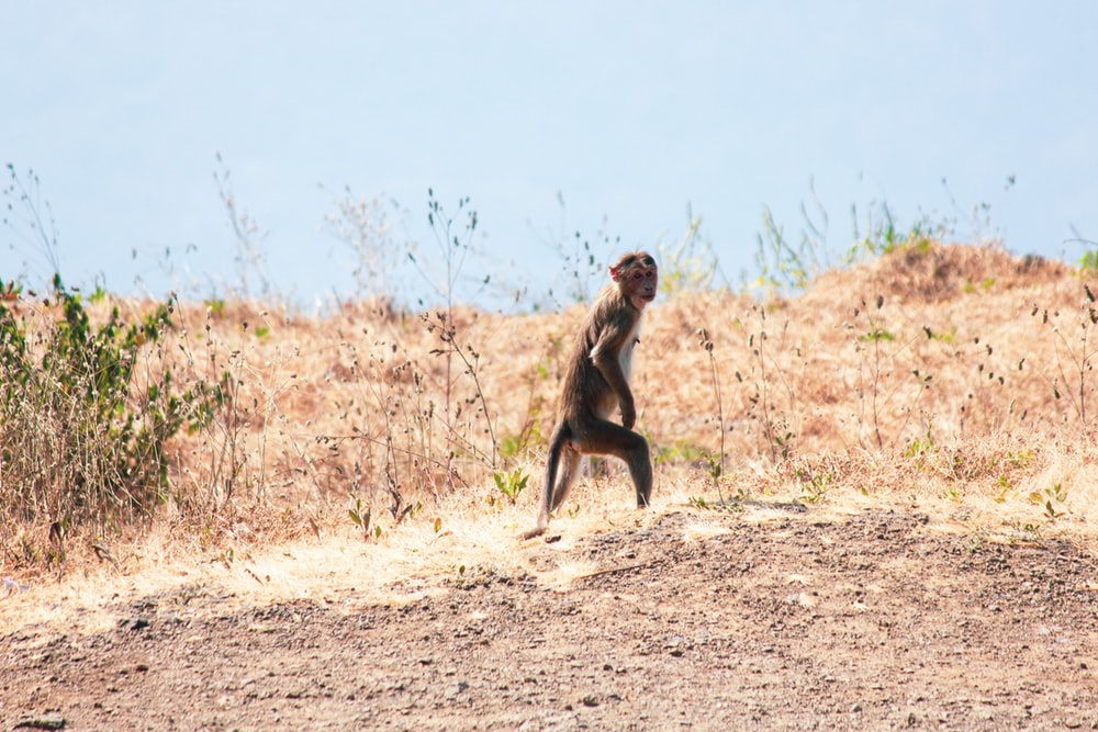 brown monkey sitting on brown dirt during daytime