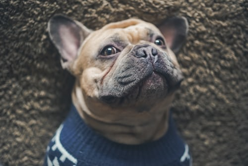 best treats for french bulldog puppies
