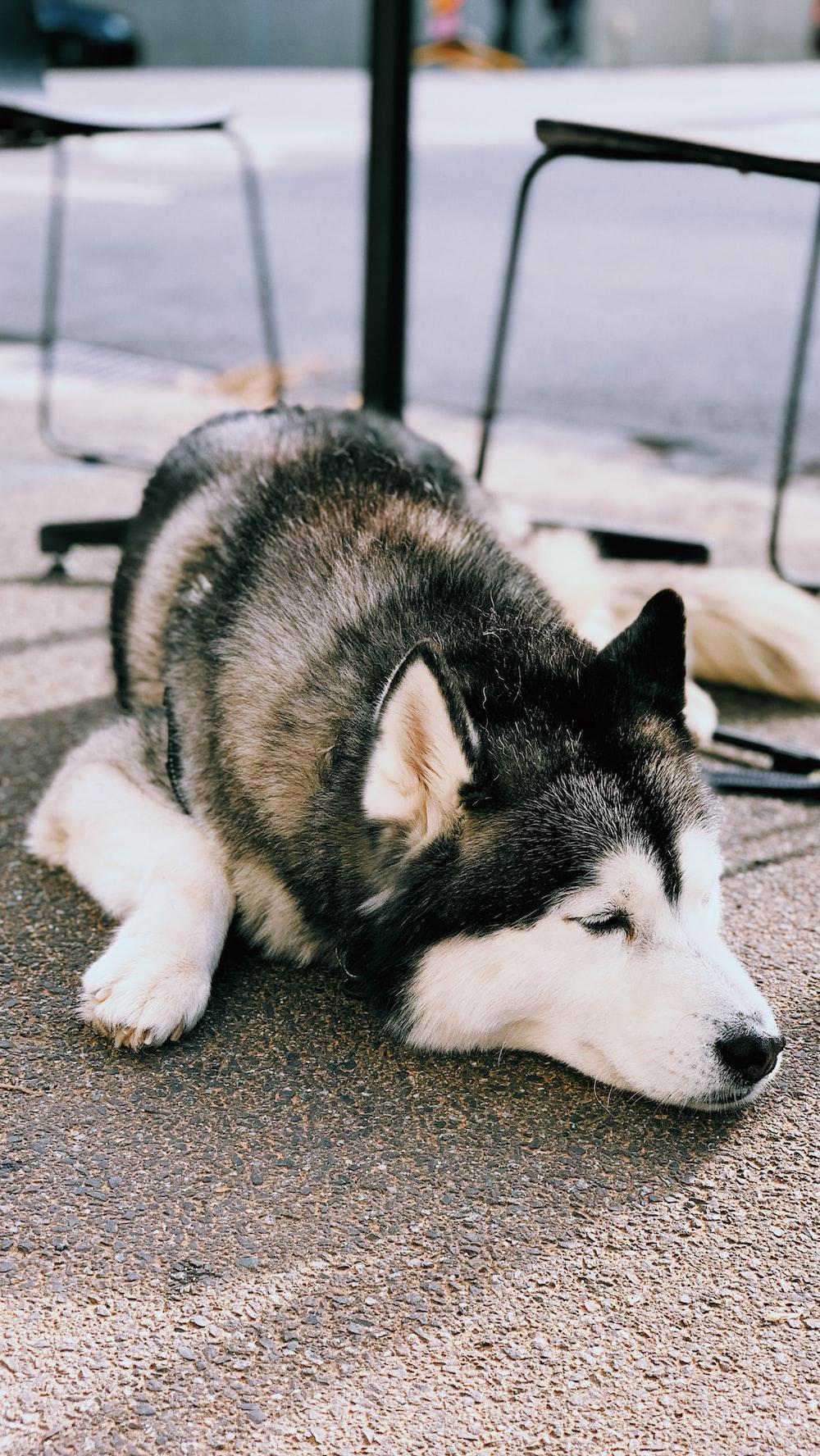 siberian husky puppy lying on the ground