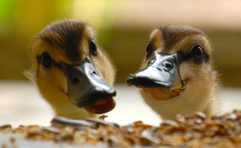 brown and beige duck head