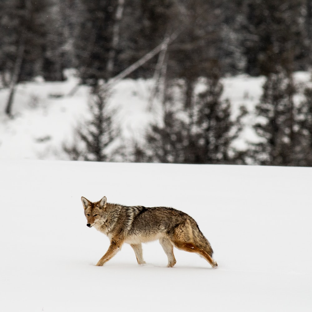 brown wolf on snow covered ground during daytime