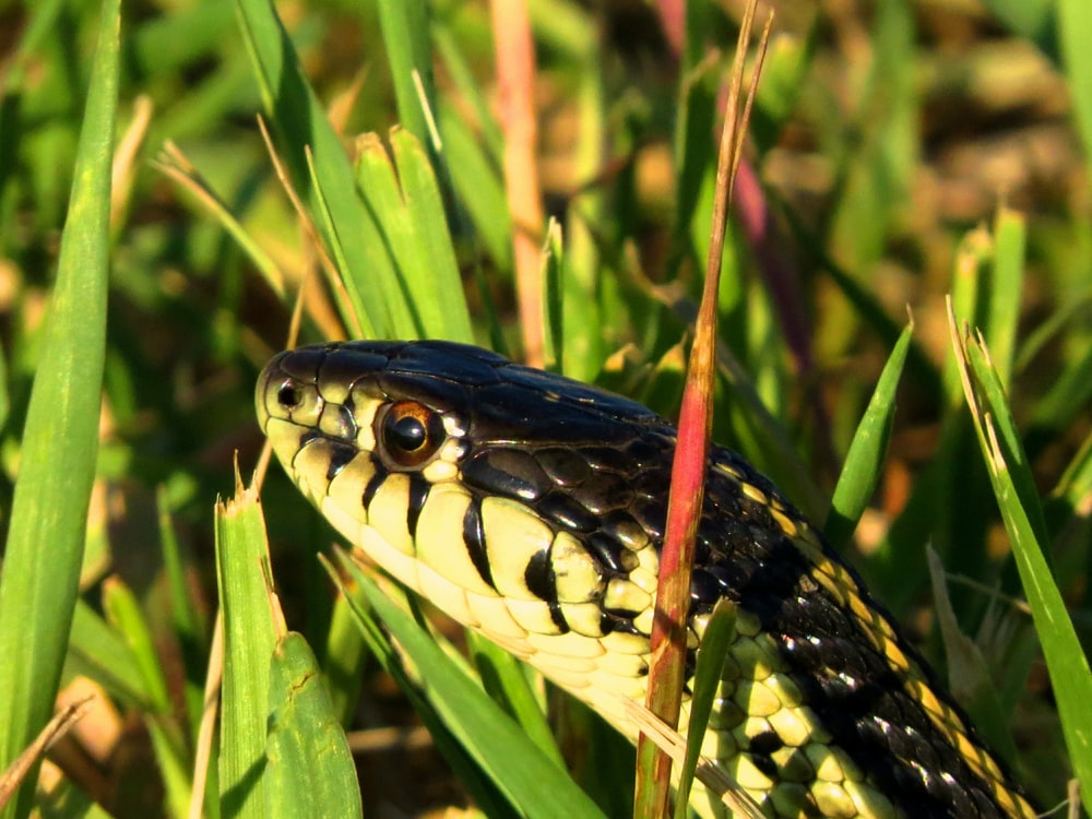 black and yellow snake on green grass