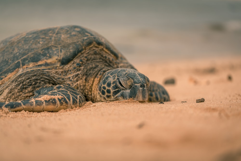 black and brown turtle on brown sand during daytime