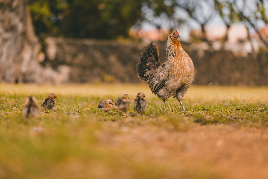 Brown and Black Chicken On Green Grass Field During Daytime - unsplash