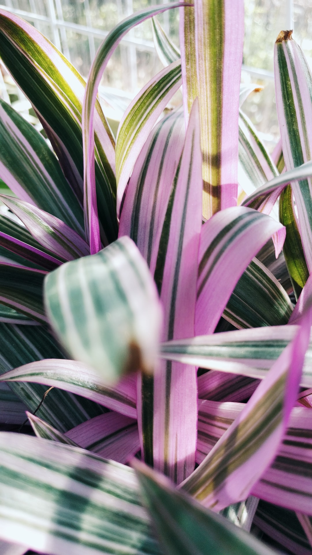 Long, pink-striped foliage of Tradescantia spathacea 'Tricolor' syn. Rhoeo spathacea. Common: Moses-in-the-cradle, boat lily, oyster plant. 2016