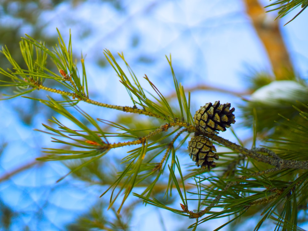black pine cone in close up photography