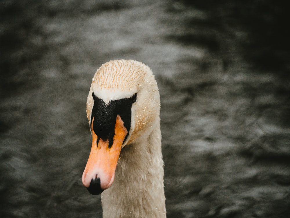 white swan in close up photography