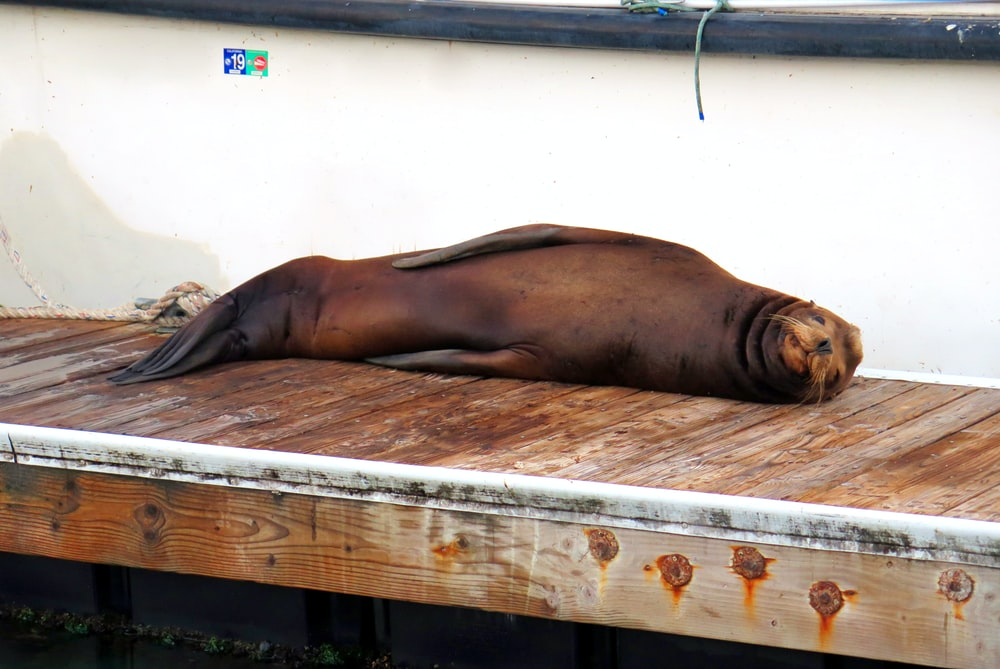 brown seal lying on brown wooden plank