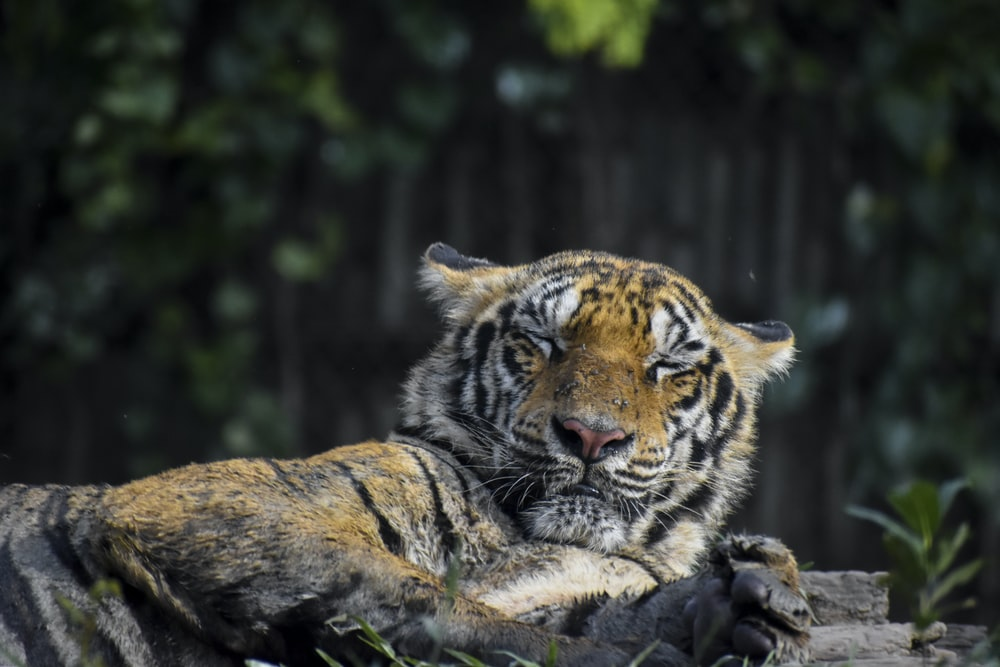 tiger lying on brown log during daytime