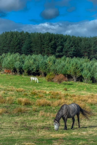 horses grazing with forest in the background