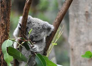 koala bear on tree branch during daytime