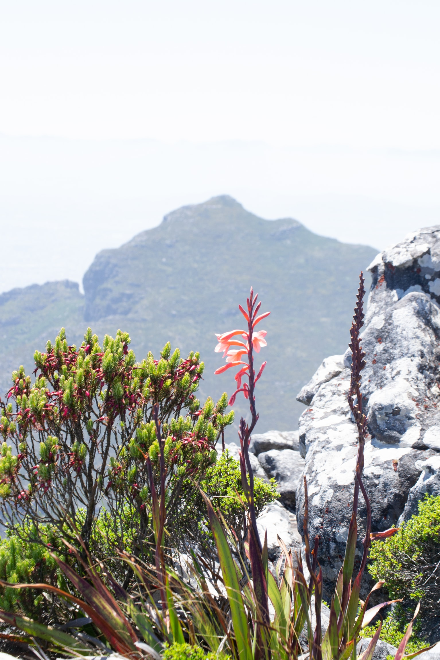 Fynbos in Cape Point Nature Reserve