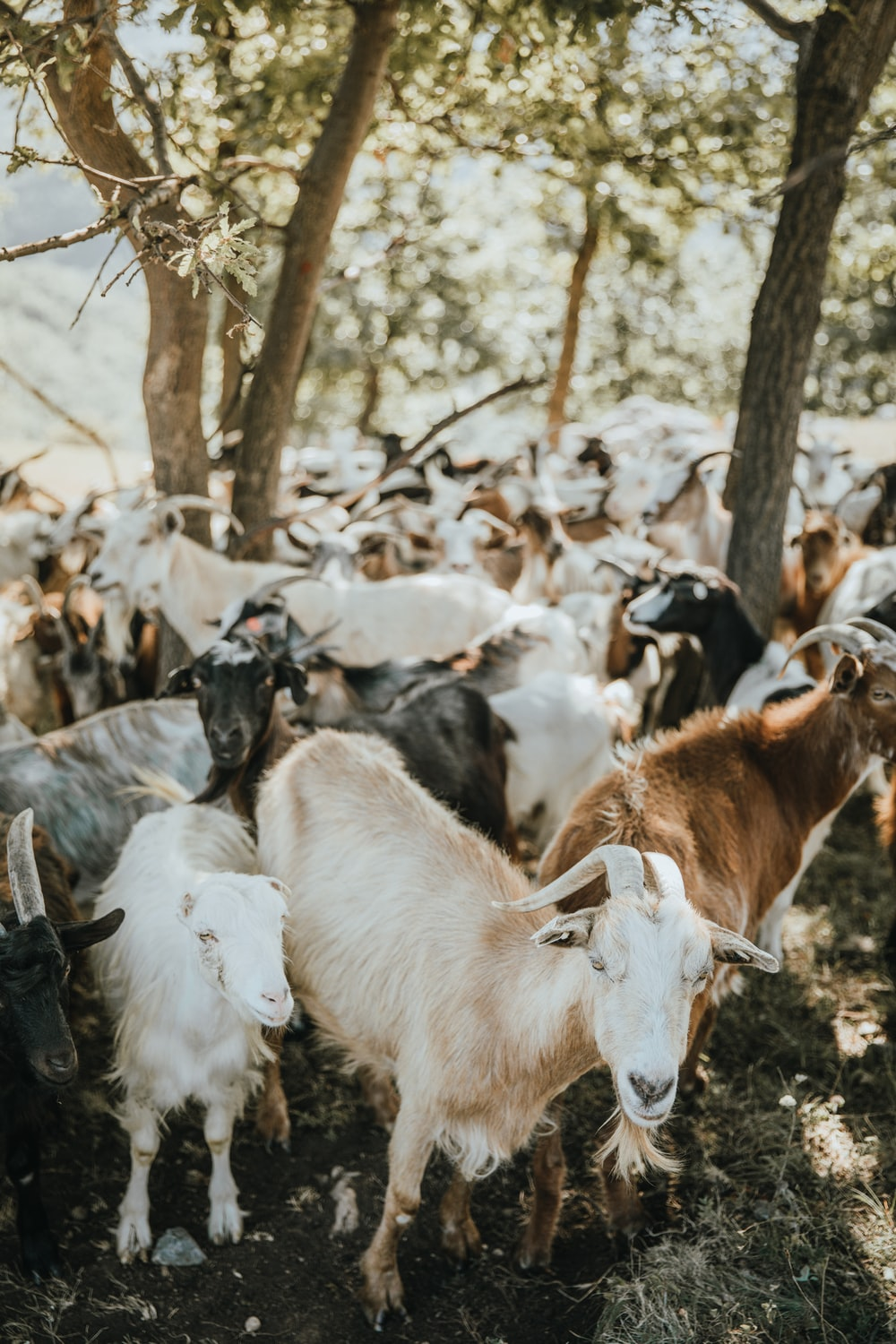 herd of goats on brown field during daytime