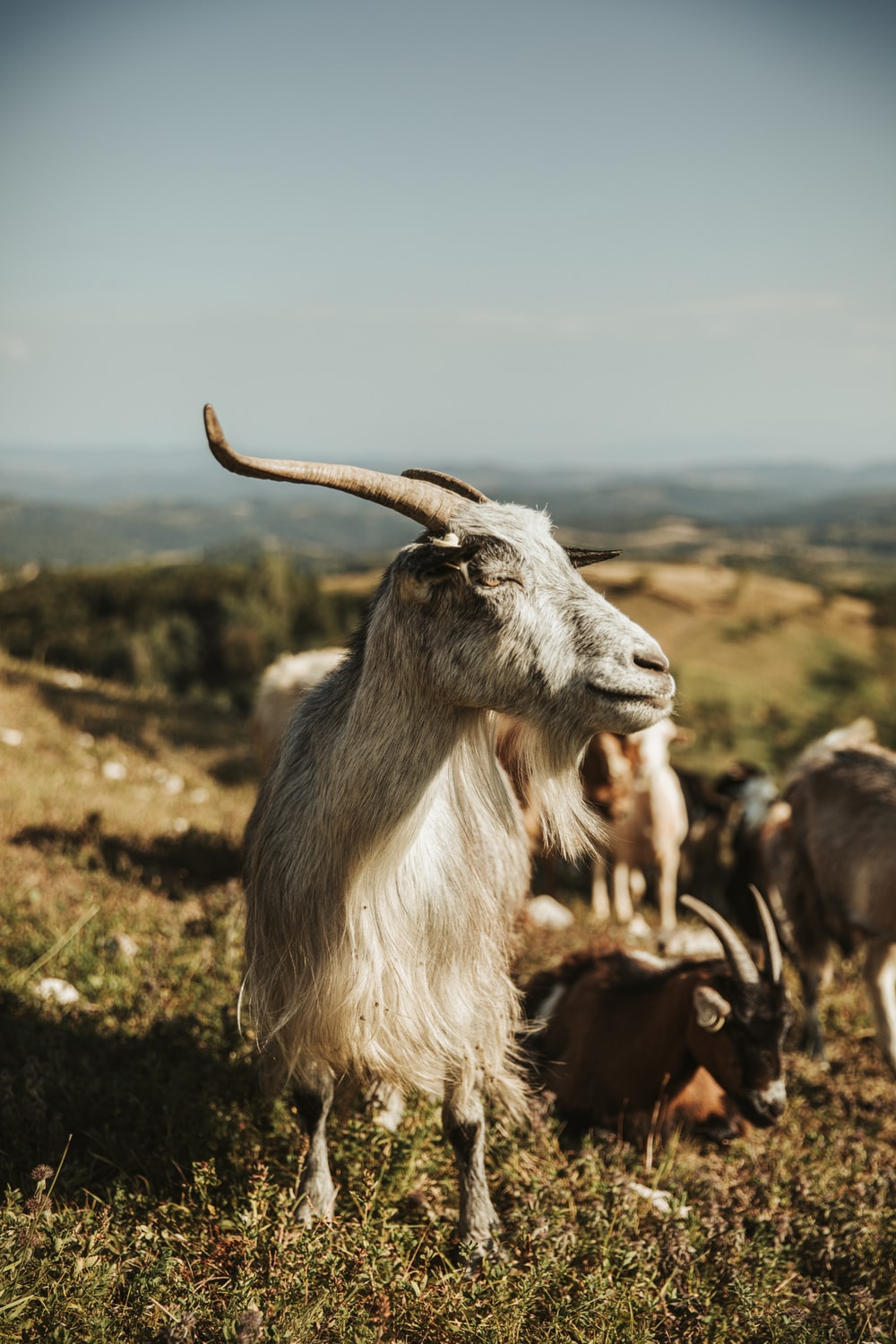 white and brown goat on green grass during daytime