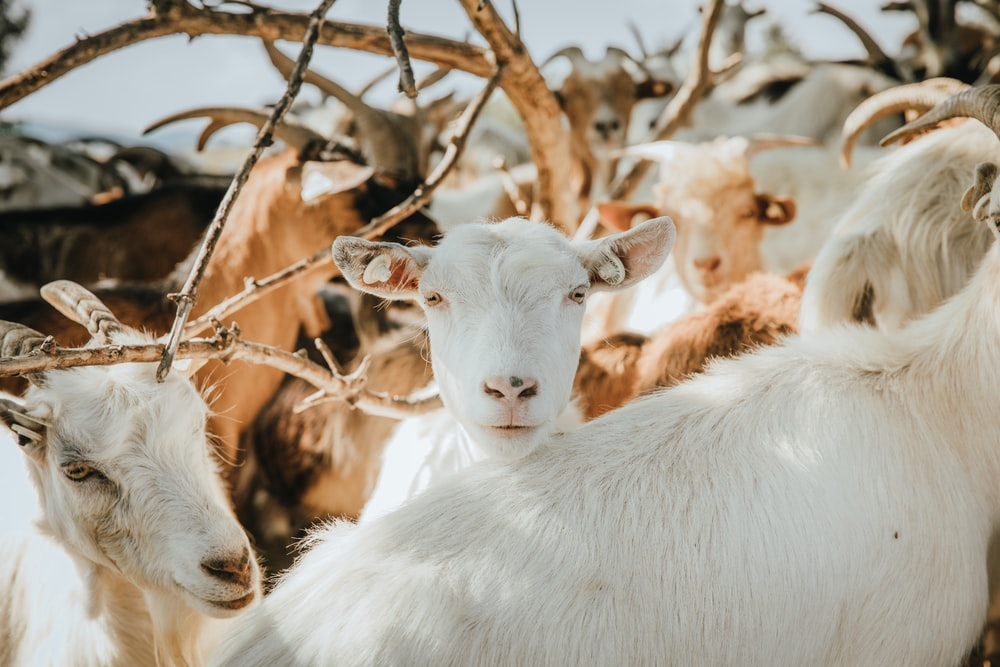 white goat eating brown tree branch during daytime