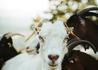 white and brown sheep in close up photography