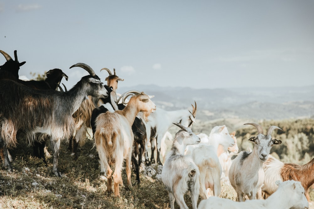 herd of goats on brown ground during daytime