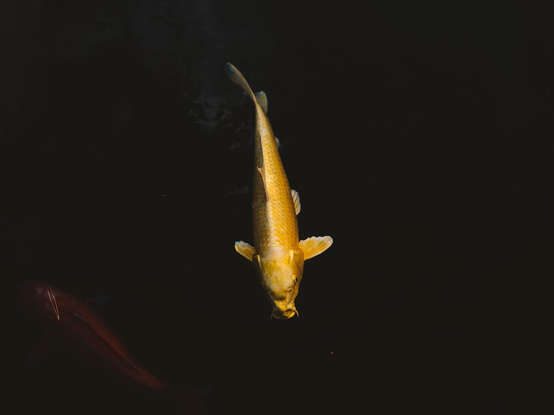 Mengatur Takaran Makanan Ikan Koi