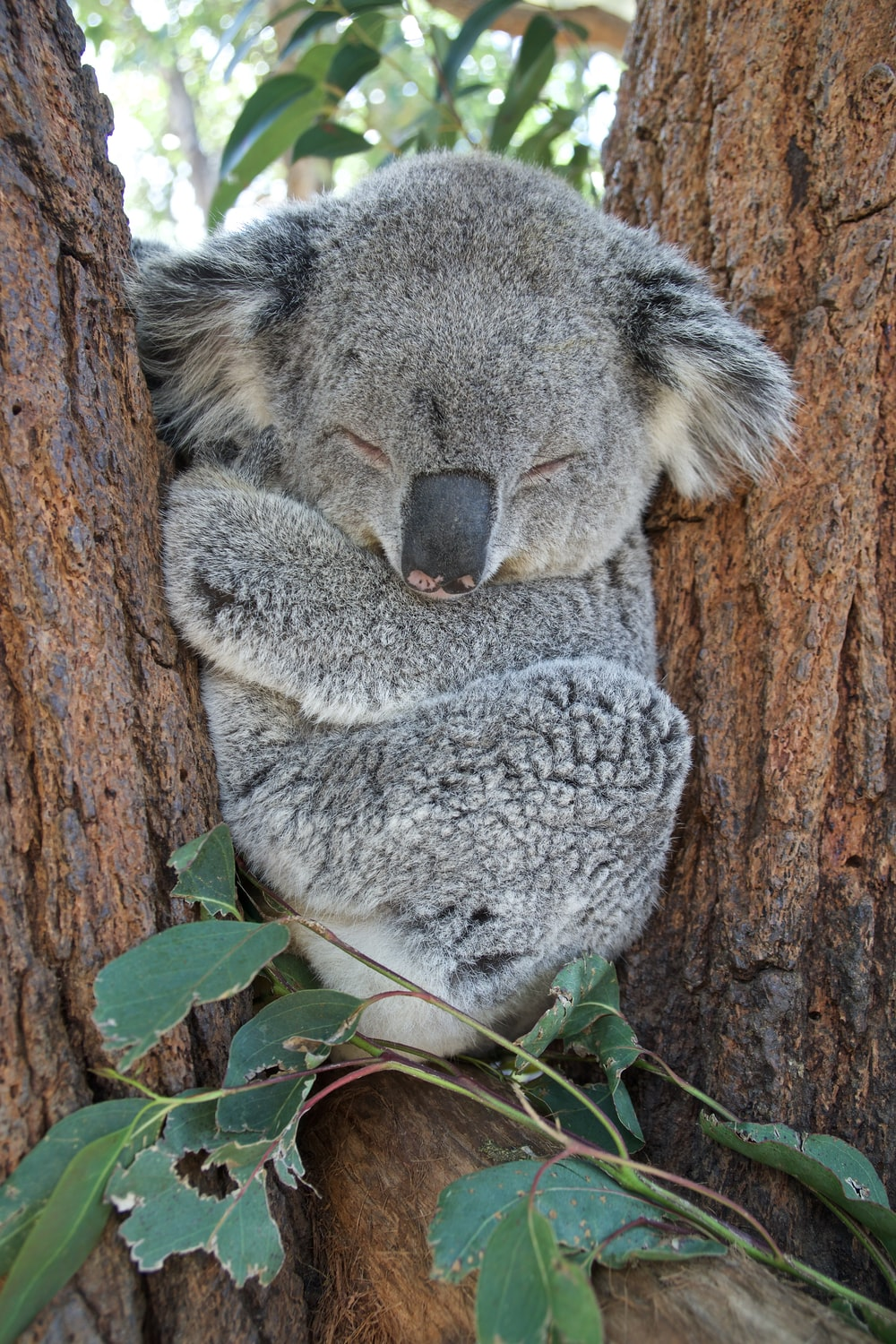 koala bear on brown tree