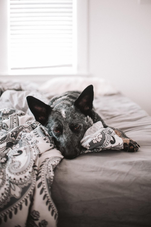 black and white short coated dog lying on bed