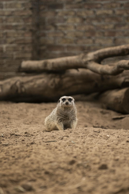 brown and white animal on brown sand