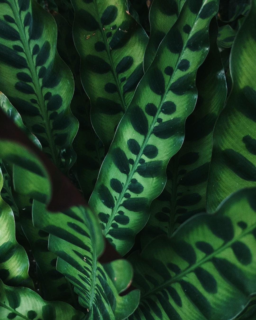 "Spotted, snake-like Calathea lancifolia foliage. Common: ""rattlesnake plant"". Enid A. Haupt Conservatory, NYBG, 2016."