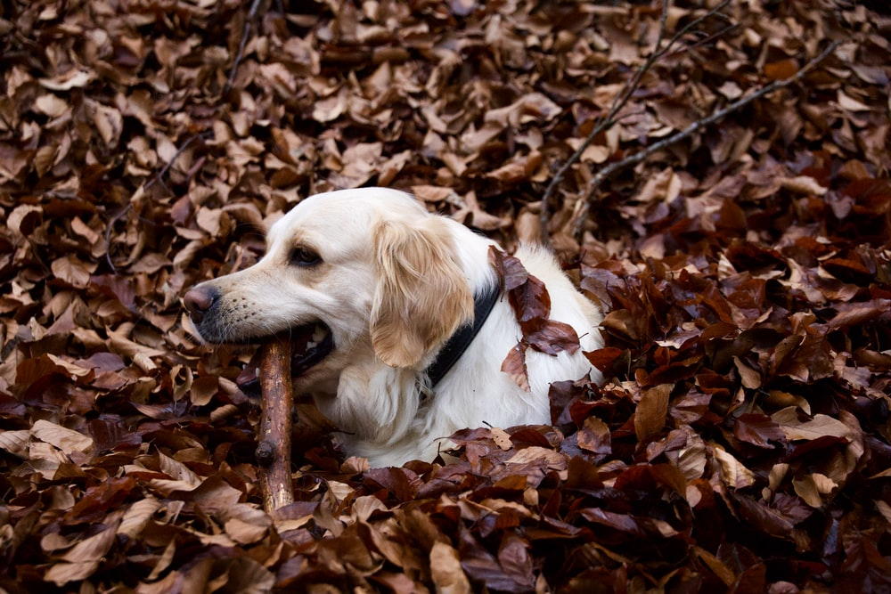 golden retriever puppy on dried leaves