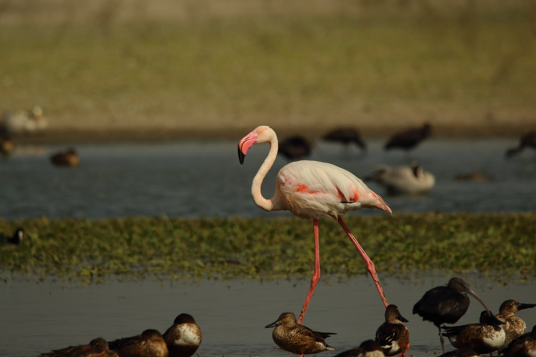 Greater flamingo among northern shovelers