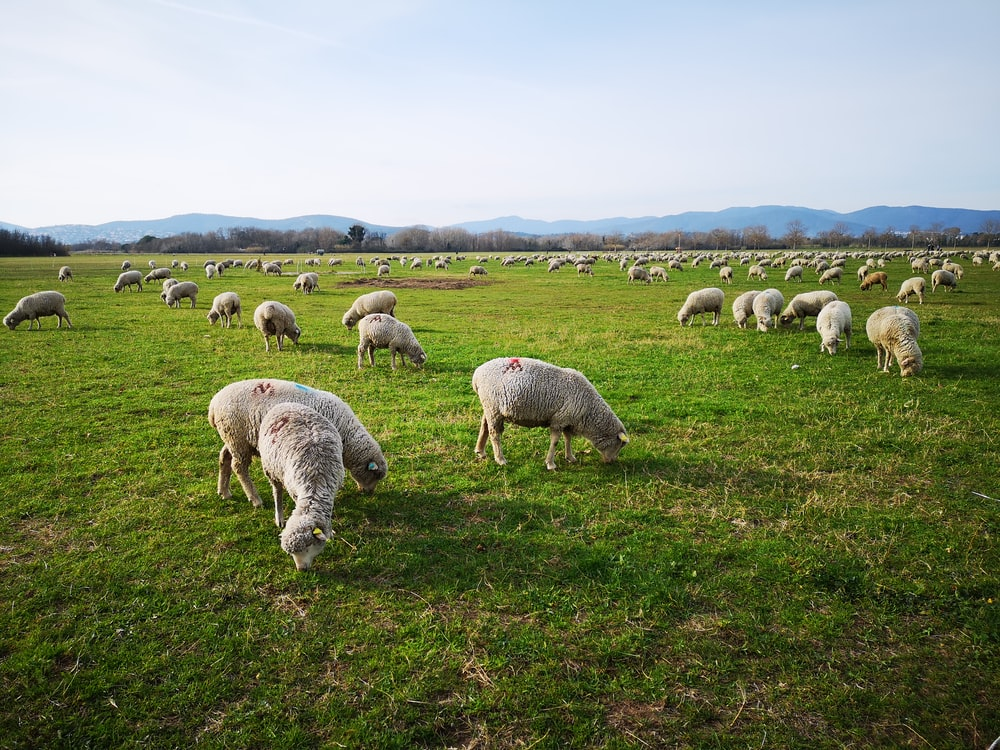 herd of sheep on green grass field during daytime