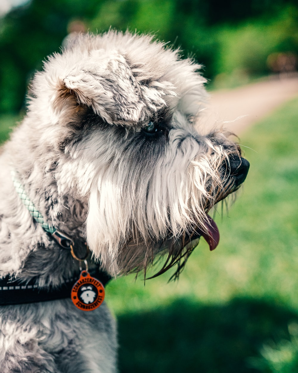 gray and white miniature schnauzer on green grass field during daytime