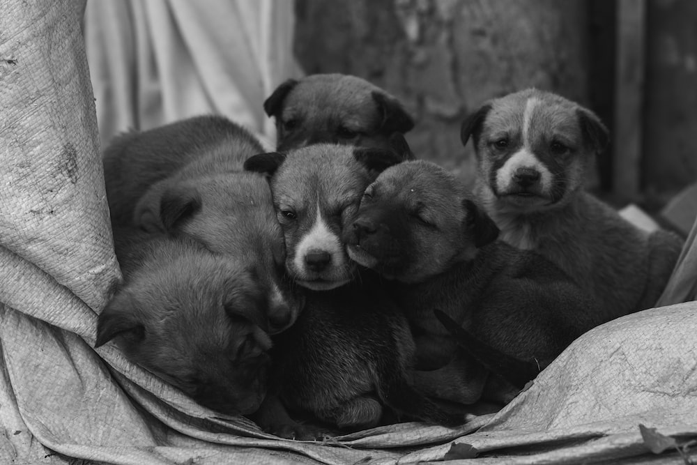 grayscale photography of short coated puppy on textile