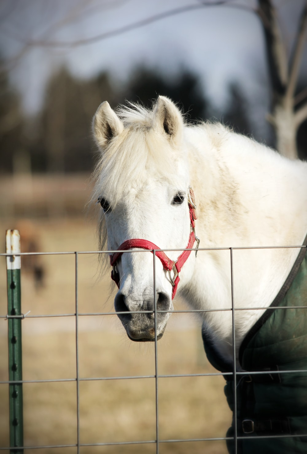 white horse in front of fence