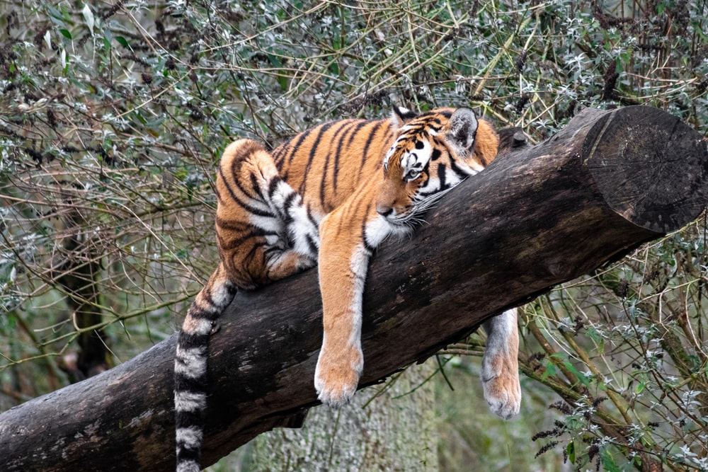 tiger lying on brown tree trunk