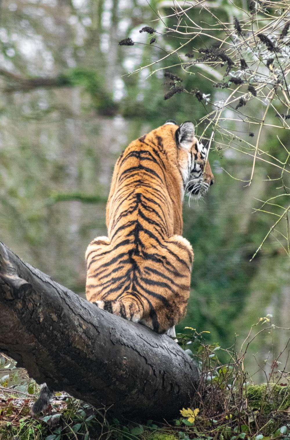 tiger lying on tree branch during daytime