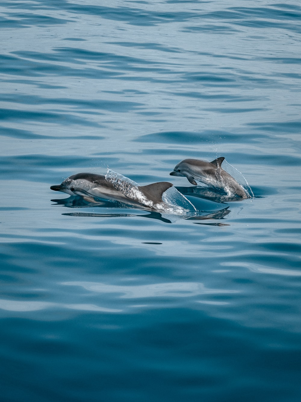 2 dolphins in the water
