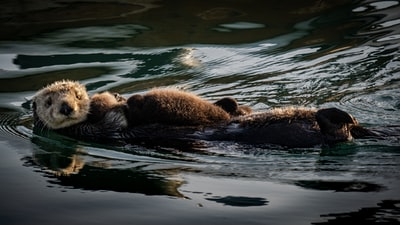 How Sea Otters Help Protect Underwater Meadows