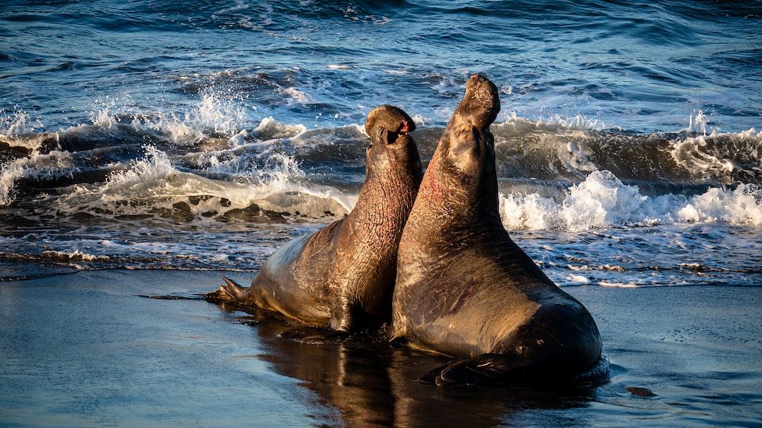 Elephant Seals fighting in the breeding season.
