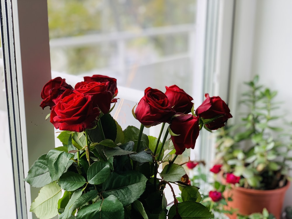 red rose in front of white framed glass window