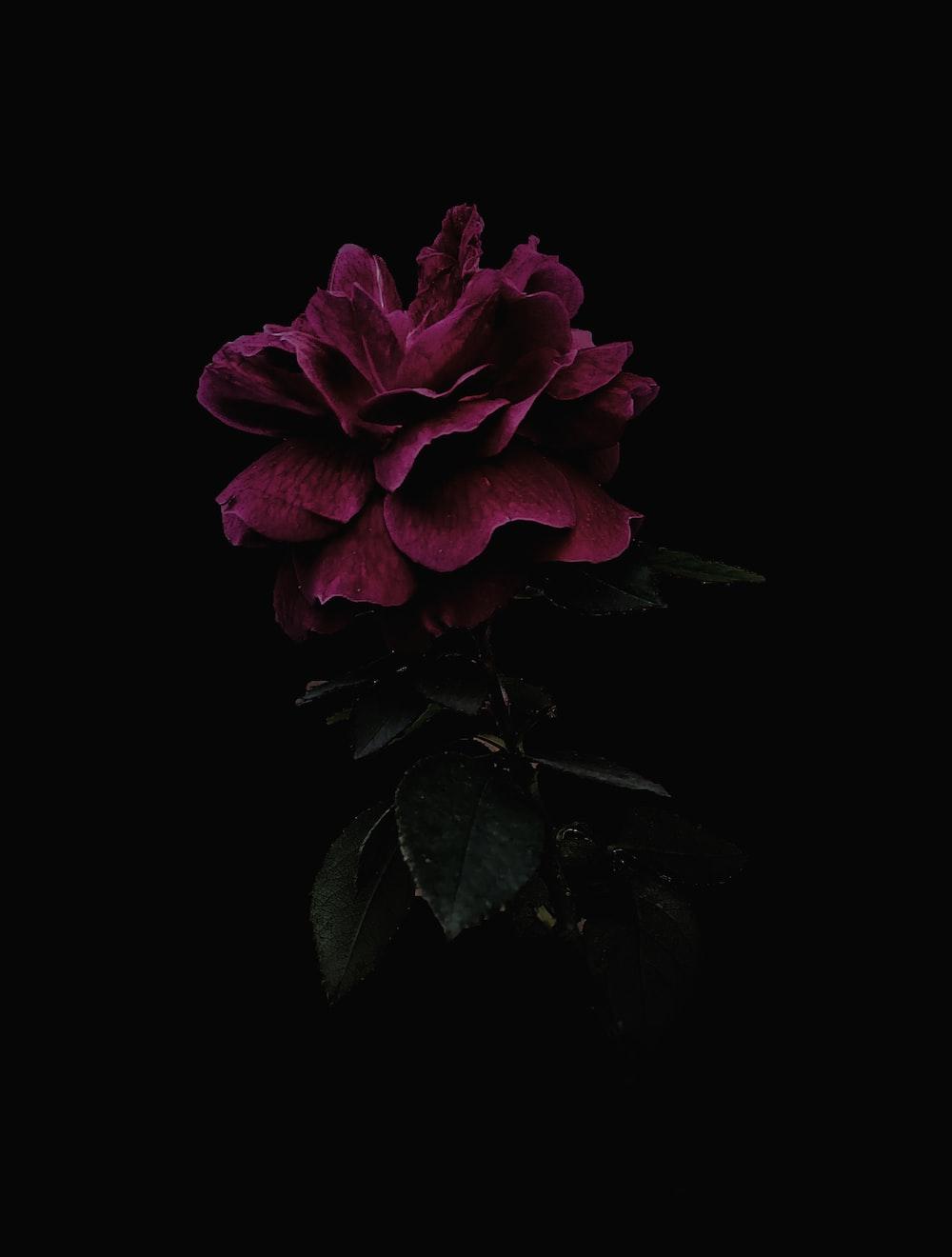 Dark Flower Pictures Download Free Images On Unsplash