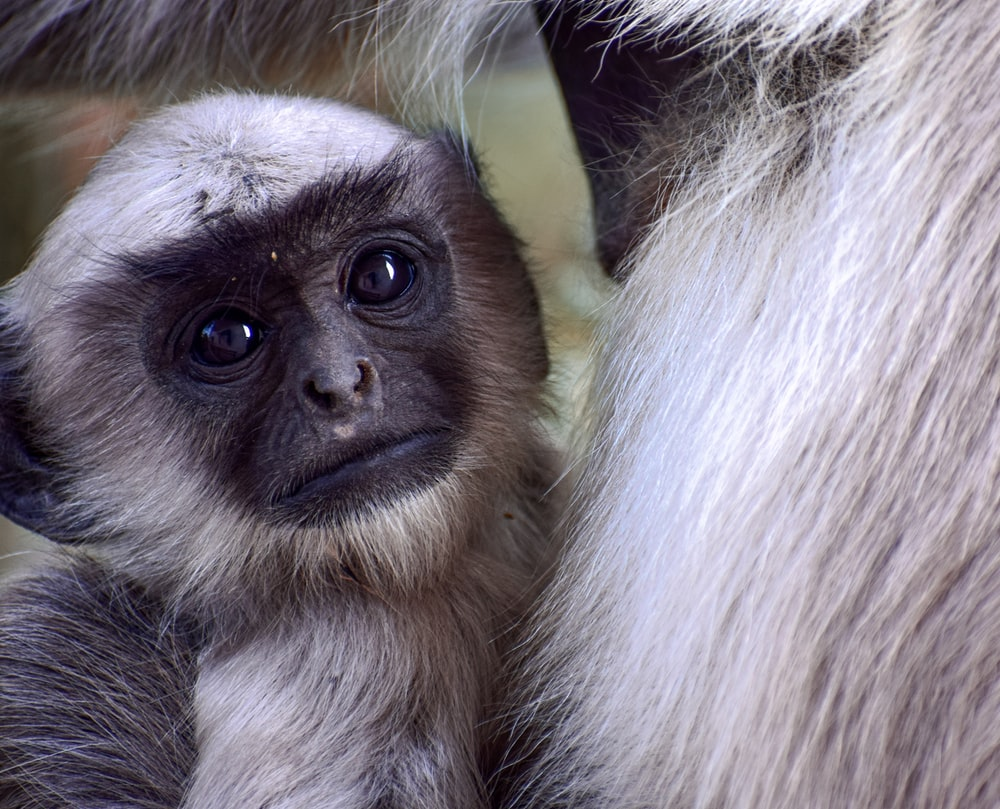 white and black monkey in close up photography