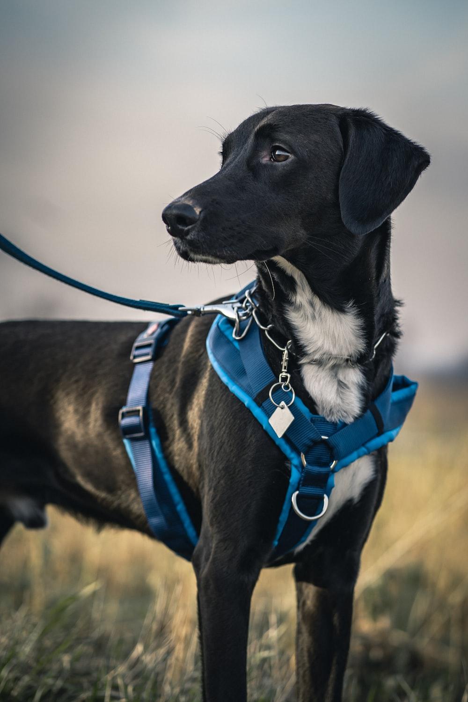 black short coat medium sized dog with blue and white scarf harness dog training dog training tool