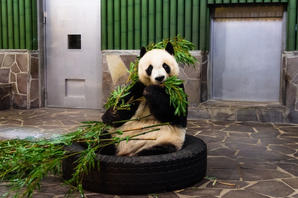 panda bear on black round tire