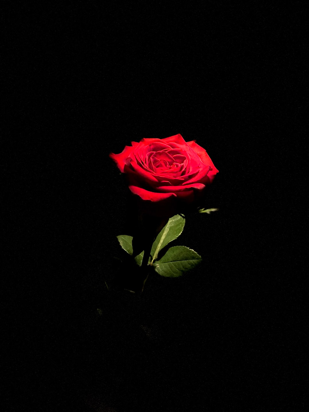Pink Rose In Bloom With Black Background Photo Free Blossom Image On Unsplash 129,000+ vectors, stock photos & psd files. unsplash