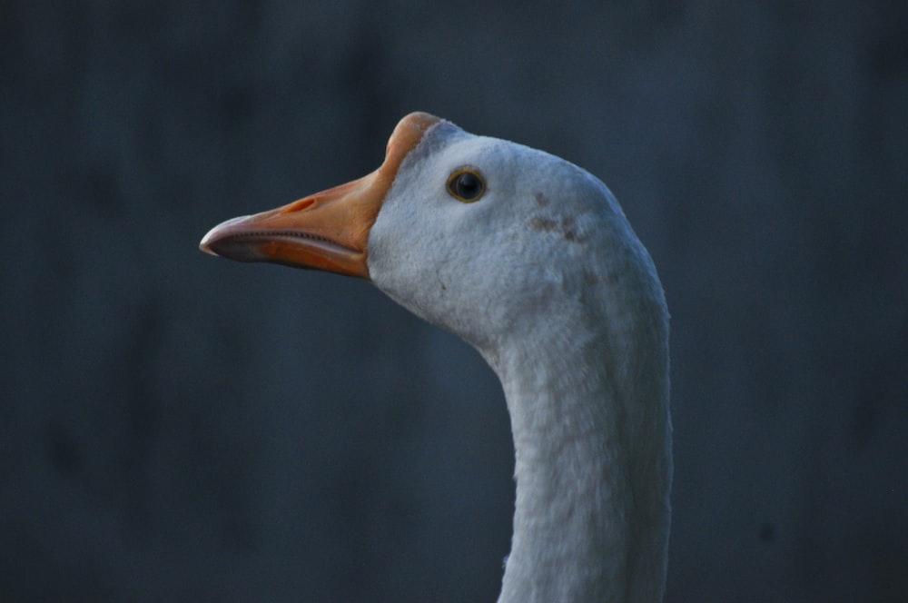 white duck with yellow beak