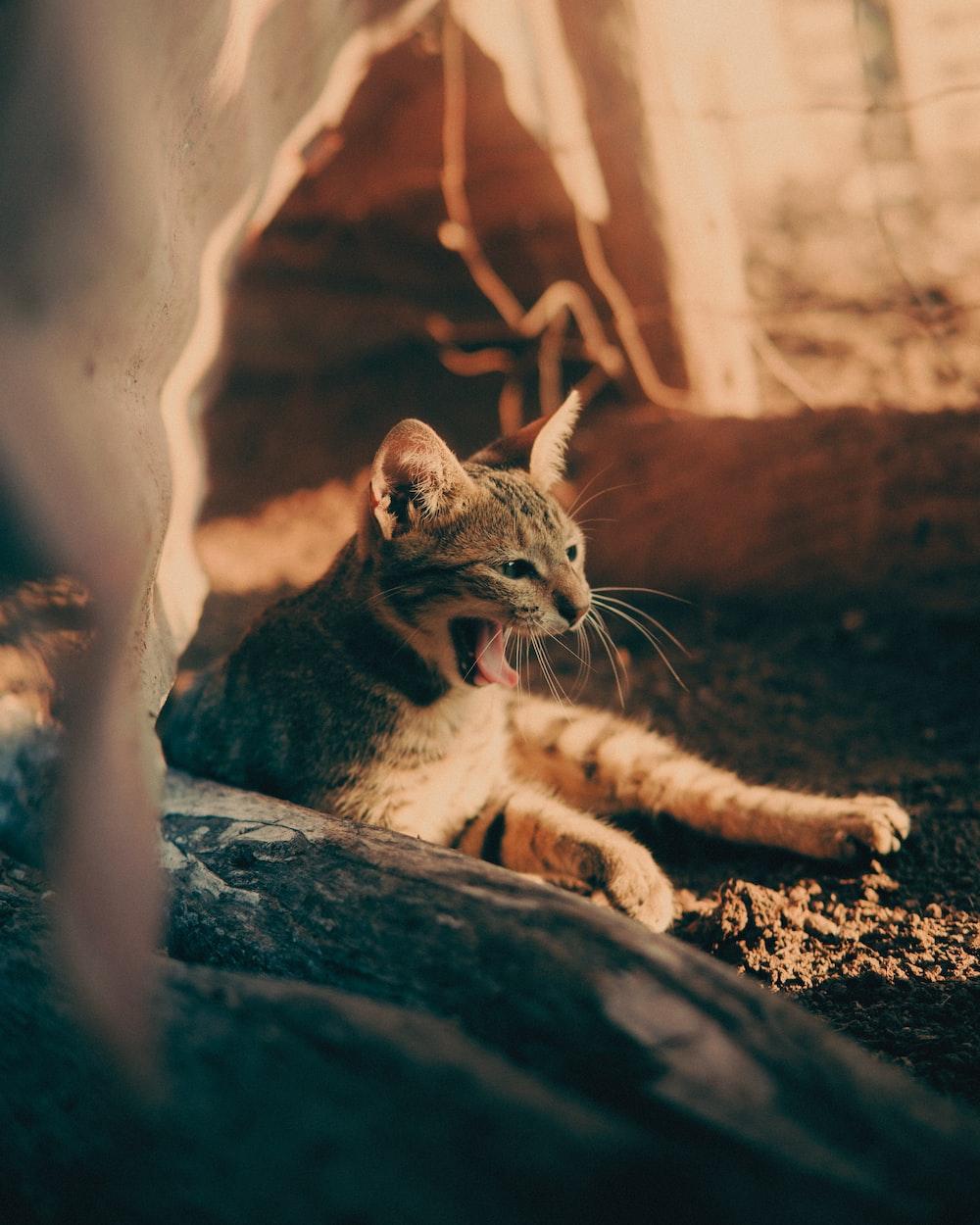 brown tabby cat on brown soil
