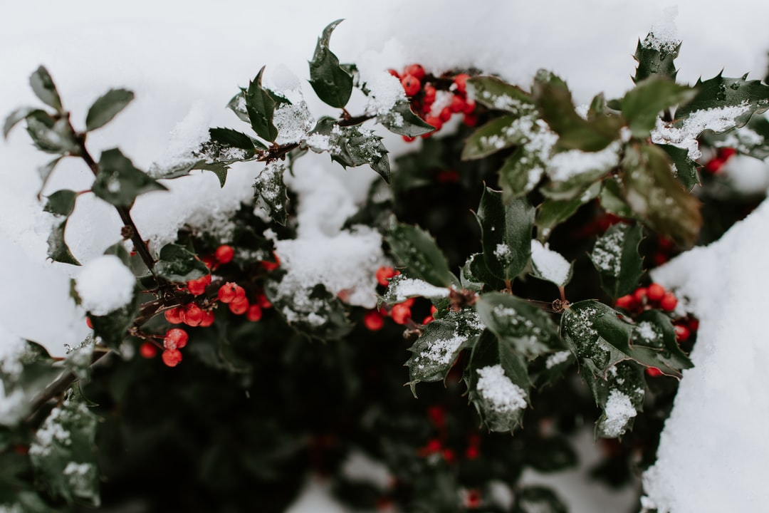 Berries In A Snow Covered Bush - unsplash